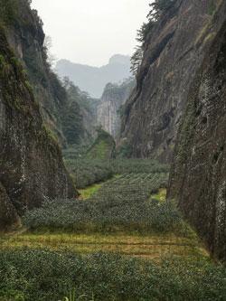 Plantacja herbaty w górach Wuyi w prowincji Fujan (Chiny, domena publiczna)