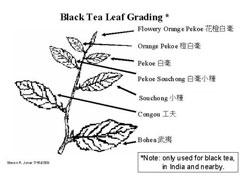 Nazwy liści na pędzie dla czarnej herbaty (domena publiczna)